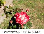 flowering noble nostalgia | Shutterstock . vector #1126286684