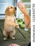 Stock photo golden retriever puppy begging for treat outdoors 1126343750