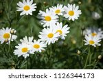 white daisy flower with... | Shutterstock . vector #1126344173