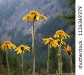 Alpine Wild Flower Arnica...