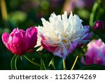 the chinese herbaceous peony...