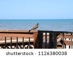 mourning dove bird perched on... | Shutterstock . vector #1126380038