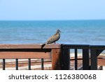 mourning dove bird perched on... | Shutterstock . vector #1126380068