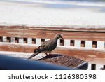 mourning dove bird perched on... | Shutterstock . vector #1126380398