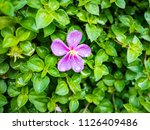 pink flowers on green trees | Shutterstock . vector #1126409486