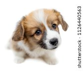 Stock photo cute puppy welsh corgi pembroke is looking at camera and begging beautiful puppy dog isolated on 1126440563