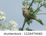 a stunning corn bunting ... | Shutterstock . vector #1126474460