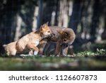 Two Dingo Puppies At Play