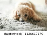 Stock photo toy poodle lying on a grey carpet staring 1126617170