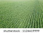 green corn field  corn field. | Shutterstock . vector #1126619999