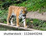 the siberian tiger  panthera... | Shutterstock . vector #1126643246