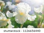 White Flower Iris Flowering...
