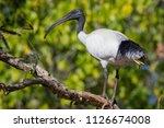 australian white ibis   black... | Shutterstock . vector #1126674008