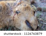 Dead Lion  Poaching Hunting....