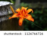 african lilly blooming in long... | Shutterstock . vector #1126766726