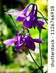 blooming aquilegia  aquilegia... | Shutterstock . vector #1126766918