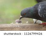 pigeon feeding seeds with dove...   Shutterstock . vector #1126799426