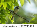 wagtail on branch with leaves...   Shutterstock . vector #1126799429