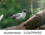 grey gull in summer light...   Shutterstock . vector #1126799450