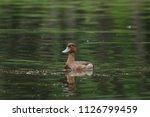 aythya fuligula swimming in...   Shutterstock . vector #1126799459