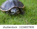 turtle is walking on the grass... | Shutterstock . vector #1126827830