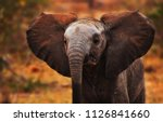Stock photo lilac breasted roller sits on a branch with an elephant walking through the picture in the 1126841660