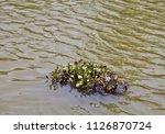 green aquatic plants swimming... | Shutterstock . vector #1126870724