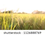 Golden Rice Field Yellow Rice...