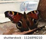 butterfly on window  | Shutterstock . vector #1126898210