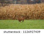 A Whitetail Buck Runs Across...