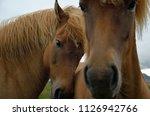 icelandic horses in west iceland | Shutterstock . vector #1126942766