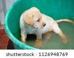 cute  wet labrador retriever... | Shutterstock . vector #1126948769