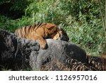 siberian tiger  panthera tigris ... | Shutterstock . vector #1126957016