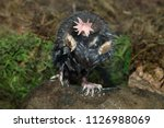 Star Nosed Mole In Minnesota...