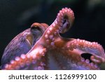 octopus on dark background.... | Shutterstock . vector #1126999100