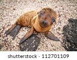 baby galapagos sea lion looking ... | Shutterstock . vector #112701109