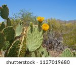 prickly pear blooming in the... | Shutterstock . vector #1127019680