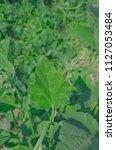 marsh mallow medicinal plant...   Shutterstock . vector #1127053484