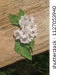 wooden board and common marsh...   Shutterstock . vector #1127053940