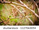yellow vented bulbul ... | Shutterstock . vector #1127063054