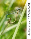 Dragonflies Mating   Dragonfly...