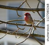 male house finch shows its...   Shutterstock . vector #1127080268