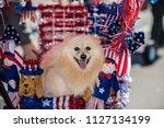 Happy Pomeranian Dog Very...