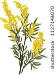 Branch Of Wattle Flowers And...