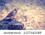 the house sparrow  passer... | Shutterstock . vector #1127162189