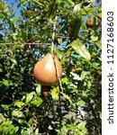 focus on pomegranate fruit on...   Shutterstock . vector #1127168603