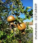 focus on pomegranate fruits on...   Shutterstock . vector #1127168609