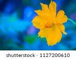 beautiful yellow cosmos flower  ... | Shutterstock . vector #1127200610