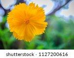 beautiful yellow cosmos flower  ... | Shutterstock . vector #1127200616