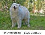samoyed summer in the... | Shutterstock . vector #1127228630